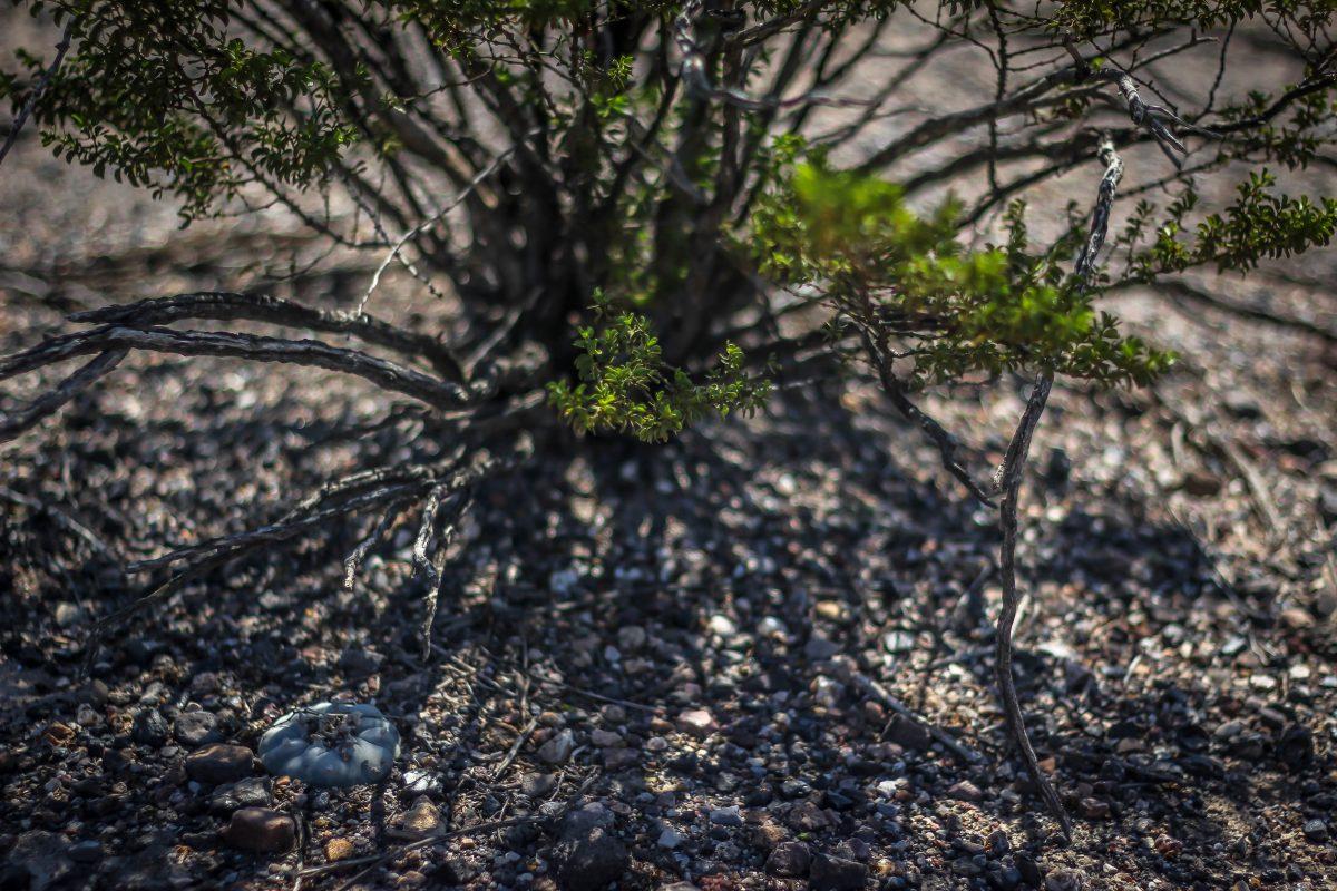 desert peyote cactus