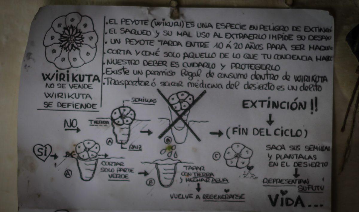 peyote information pick harvest cactus
