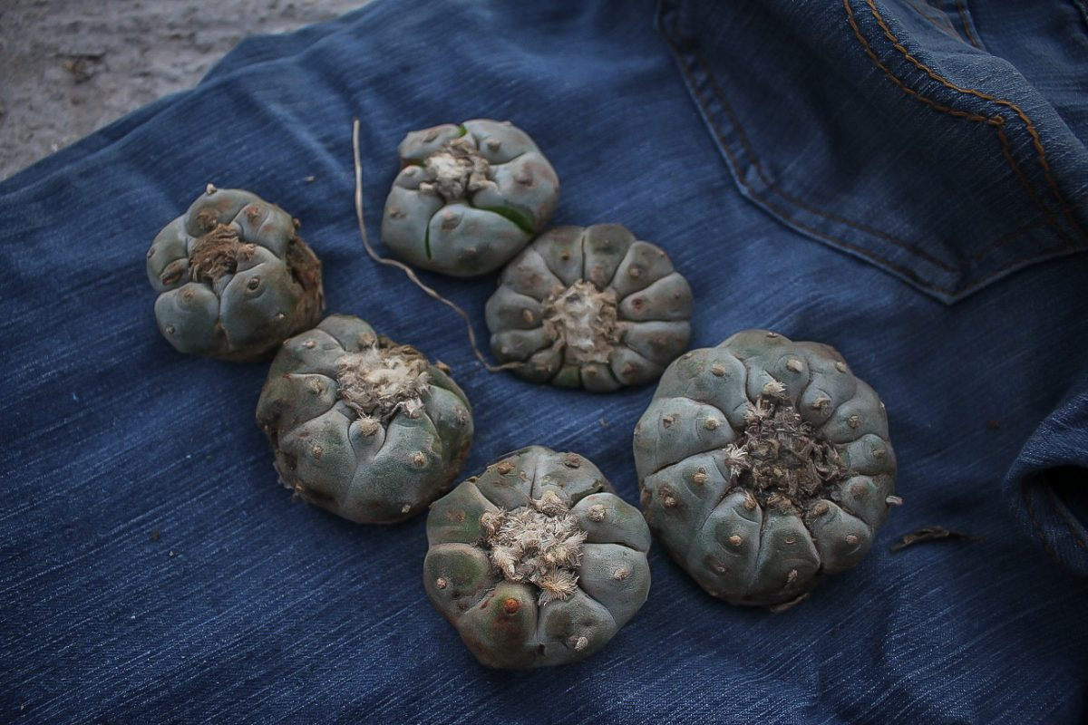 peyote hikuri heads cactus