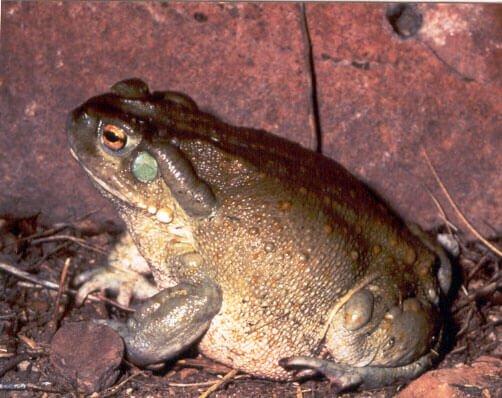 bufo alvarius 5 meo dmt toad five